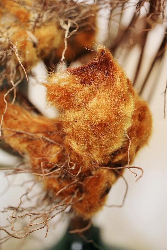 IMG 6599 醜得很可愛!有著奇特的外觀和觸感的台灣特有種蕨類:金狗毛