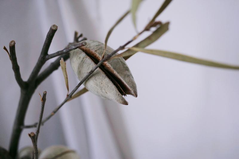 IMG 6786 來自澳洲少見的天然果實:木梨果